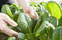 Potager: des légumes frais, vite !