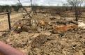 Plus de 500.000 bovins décimés en Australie par une catastrophe climatique