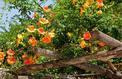 Bignone à grandes fleurs