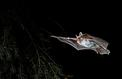 Une nouvelle espèce de chauve-souris découverte en Europe occidentale