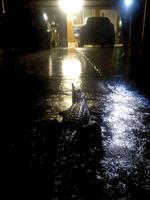 Un crocodile dans les rues de Townsville.