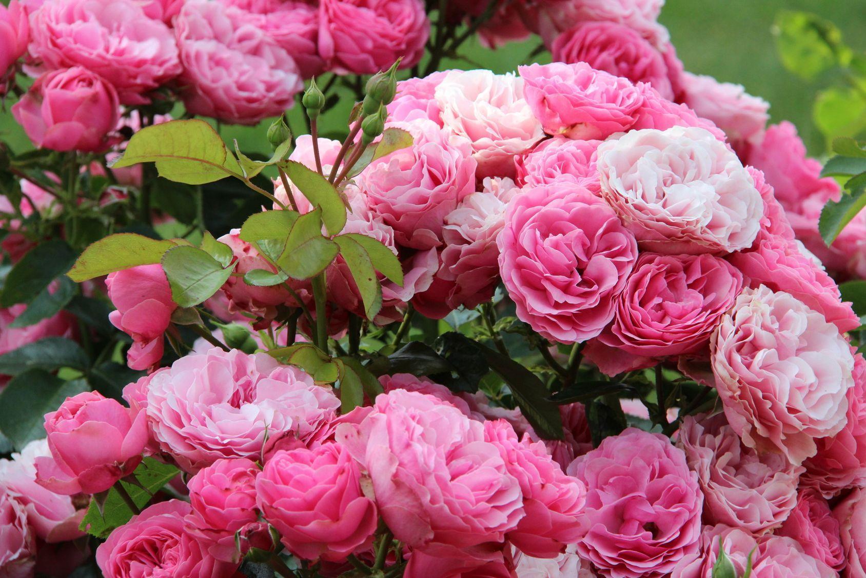 planter des roses au jardin les cl s de la r ussite. Black Bedroom Furniture Sets. Home Design Ideas