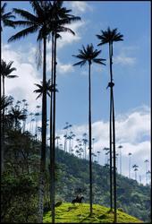 Les palmiers à cire .