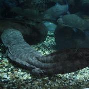 Découverte au Portugal d'une salamandre préhistorique géante