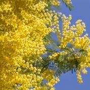 Mimosa de Nice, l'Australien de la Côte d'Azur