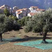 La France lance l'offensive contre la bactérie tueuse d'oliviers