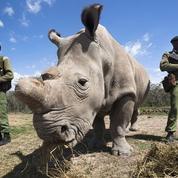 Le dernier rhinocéros blanc du Nord vit sous protection rapprochée