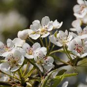 Les pommiers du Japon sont-ils de bons pollinisateurs ?