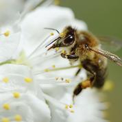 Abeilles: nouvelles accusations contre les insecticides