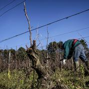 Un vigneron bio devant la justice pour avoir refusé de traiter sa vigne