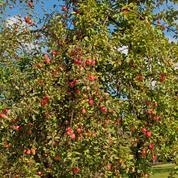 Pommiers: moins de pesticides utilisés