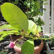 Mon citronnier perd feuilles et fruits, que faire ?