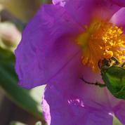 Roses : les cétoines sont-elles nuisibles?