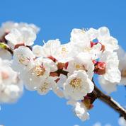 Abricotier: comment favoriser la pollinisation?