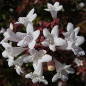 Abélia, des fleurs tout l'été