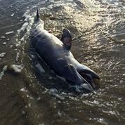 Etats-Unis : cinq ans après, la marée noire tue les dauphins par milliers
