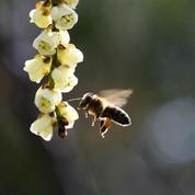 Barack Obama et Ségolène Royal volent au secours des abeilles