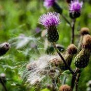 Comment éliminer les chardons sans pesticide ?