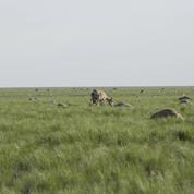 Au Kazakhstan, les antilopes saïgas meurent mystérieusement par milliers