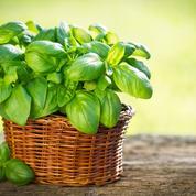 Comment réussir la culture du basilicen pot?