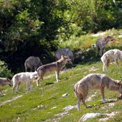 La menace des loups relance le débat sur l'abattage
