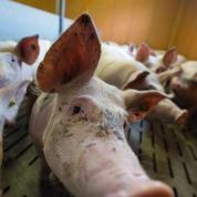Filière porcine : le gouvernement promet cinq millions d'euros d'aides supplémentaires
