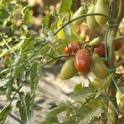 Tomate: le paillage est-il efficace contre le mildiou ?
