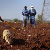 Quand les rats sauvent des vies humaines
