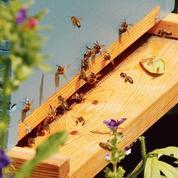De nouvelles mesures pour sauver les abeilles françaises