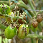 Comment lutter contre le mildiou de la tomate?