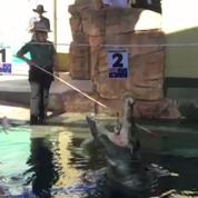 Un crocodile effectue le tirage au sort des matches de Coupe Davis en Australie