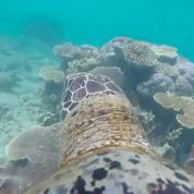 La Grande barrière de corail filmée depuis le dos d'une tortue