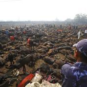 Le Népal interdit l'un des plus grands sacrifices d'animaux du monde