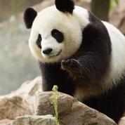 La libido des pandas du zoo de Beauval au plus bas