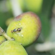 Des mouches OGM pour éliminer leurs congénères