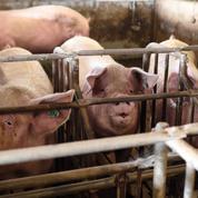 Crise du porc : «Des normes environnementales plus tatillonnes en France»