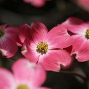 Cornouillers américains, des fleurs et des écorces