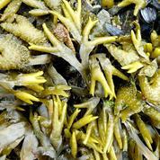 Les algues marines sont-elles un bon engrais ?