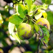 Les fruits malades ou véreux sont-ils toxiques ?