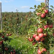 Grâce à la météo, la production de pommes en France se porte très bien