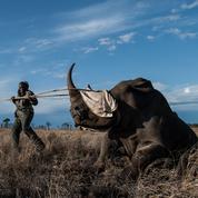 Afrique du Sud : dans la brousse du Kruger, le dernier combat des rhinocéros