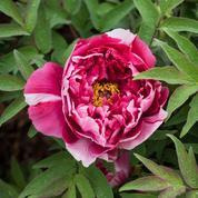 Pivoines arbustives, en fleur dès la mi-avril