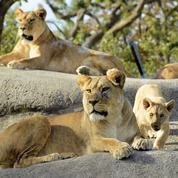Zèbres, buffles et antilopes ont le contrôle sur les populations de lions