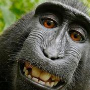 Une association veut qu'un singe touche des droits d'auteur sur un selfie