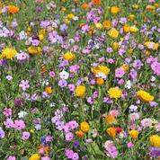 Comment semer un gazon après une jachère fleurie ?