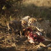 Quand les antilopes régulent les populations de grands félins