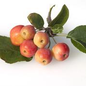 Peut-on semer des pommes du Japon ?
