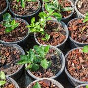 Comment faire pousser des pépins de citron?
