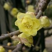 Chimonanthe précoce, fleur parfumée de l'hiver