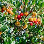 Arbousier ou «arbre aux fraises»